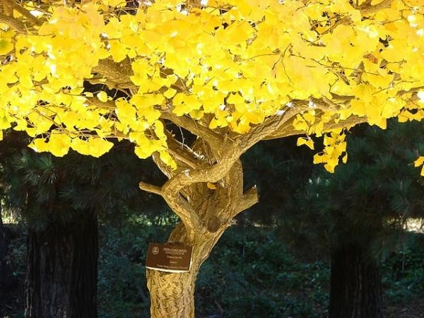 gingko-biloba-arbore